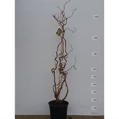 Picture of Corylus avellana contorta 3+ branches
