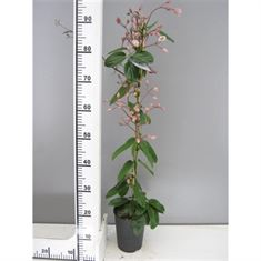 Picture of Clematis armandii Apple Blossom