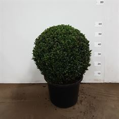 Picture of Buxus ball 40cm