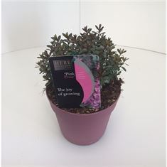 Picture of Hebe Pink Pixie