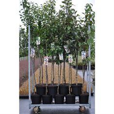 Picture of Prunus mix (Plum/cherry) (Half-std.)