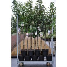 Picture of Pyrus mix (Pear) (Half-std.)