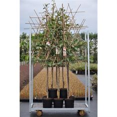 Picture of Pyrus mix (Pear) - Fan trained (Half-std.)