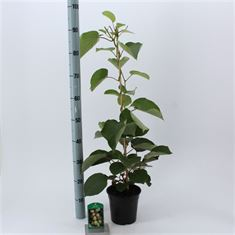 Picture of Actinidia del. Jenny