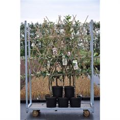 Picture of Large fruit mix - Fan trained - P26 (Low-std.)