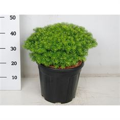Picture of Abies koreana nadelkissen