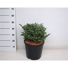 Picture of Abies koreana oberon