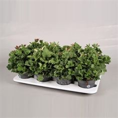 Picture of Bella donna mix tray buds 12cm