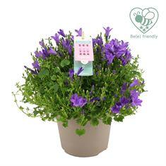 Picture of Campanula Ambella Intense Purple 14 cm