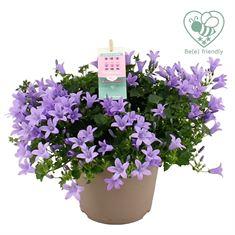 Picture of Campanula Ambella Lavender 14 cm