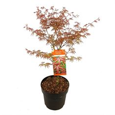 Picture of Acer palm. Starfish ®