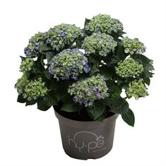 Picture of Hydrangea macrophylla Curly Wurly