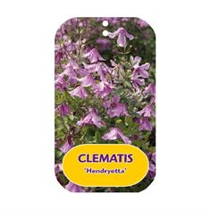 Picture of Clematis Hendryetta