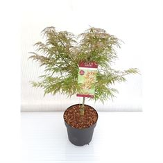 Picture of Acer palm. Garnet