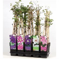 Picture of Clematis mix shelf standard
