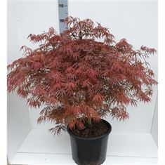 Picture of Acer Palmatum Ornatum