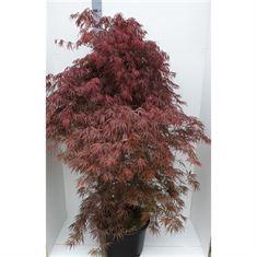 Picture of Acer Palmatum Inaba-Shidare