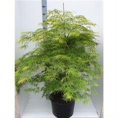 Picture of Acer palmatum Dissectum