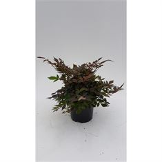 Picture of Astilbe Arendsii Grp Bumalda