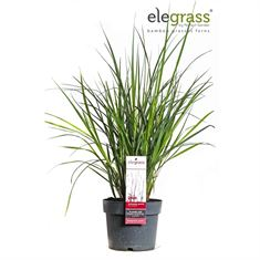 Picture of Andropogon gerardii Red October