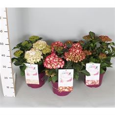 Picture of Hydrangea macr. Charming® in varieties