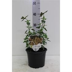 Picture of Agastache Kudos Gold