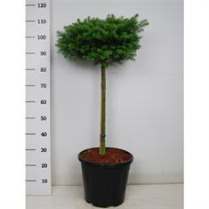 Picture of Abies koreana cis