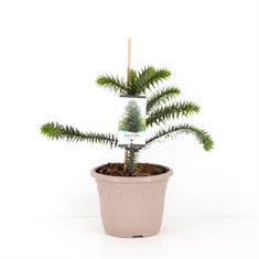 Picture of Araucaria araucana - taupe pot