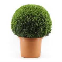 Picture of Buxus 70 cm. ball