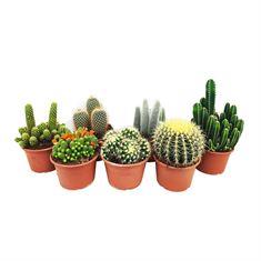 Picture of Cactus mix