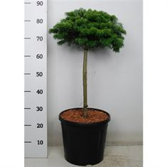 Picture of Abies koreana tundra