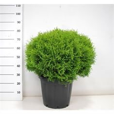 Picture of Thuja occ. tiny tim