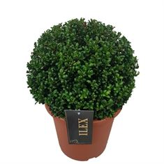 Picture of Ilex crenata Convexa ball