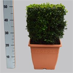 Picture of Buxus cube  27x27-26