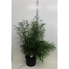 Picture of Fargesia robusta Pingwu P36