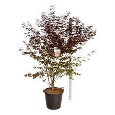 Picture of Acer pal. atropurpureum