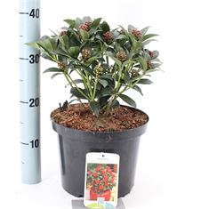 Picture of Skimmia jap. Olympic Flame