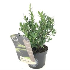 Picture of Ilex crenata Dark Green  icoprin