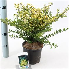 Picture of Ilex crenata Convexed Gold