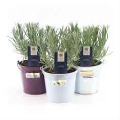 Picture of Lavandula ang. Felice® -collection p12 in zinc bucket mix