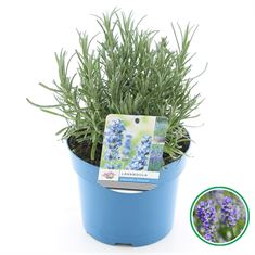 Picture of Lavandula ang. Munstead