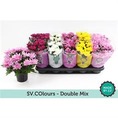 Picture of Chrysant double mix