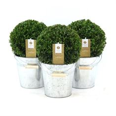 Picture of Buxus 20 cm. ball p17 in zinc bucket old look