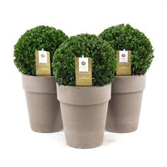 Picture of Buxus ball �20 cm. in vase pot ceramic