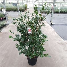 Picture of Camellia Jap. Black Lace