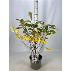 Picture of Amelanchier lamarckii