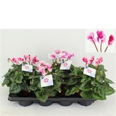Picture of Cyclamen Halios Friola Mix