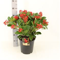Picture of Skimmia japonica Chameleon cut