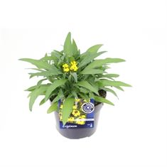 Picture of Erysimum erysistible yellow
