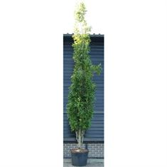 Picture of Quercus palustris green pillar